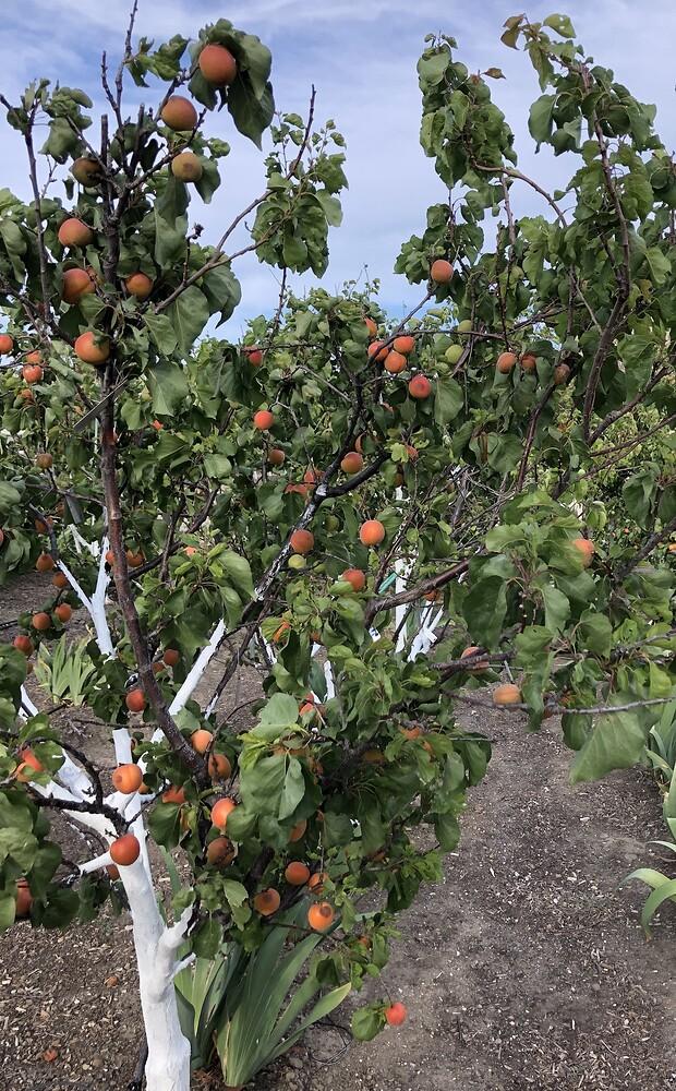 2021-05-15_Apricot_Nicole_Fruit_IMG_0825