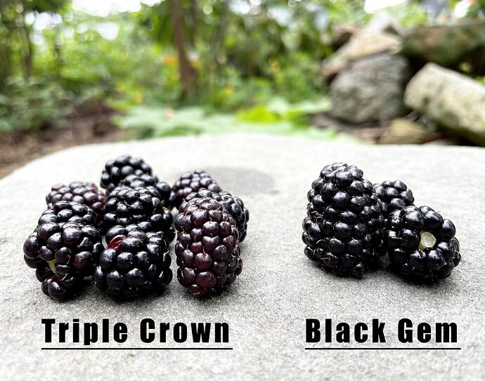 Triple Crown and Black Gem