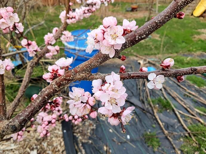 Apricot 03-28-21  3