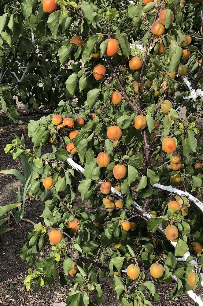 2021-05-15_Apricot_Tomcot_Fruit_IMG_0827
