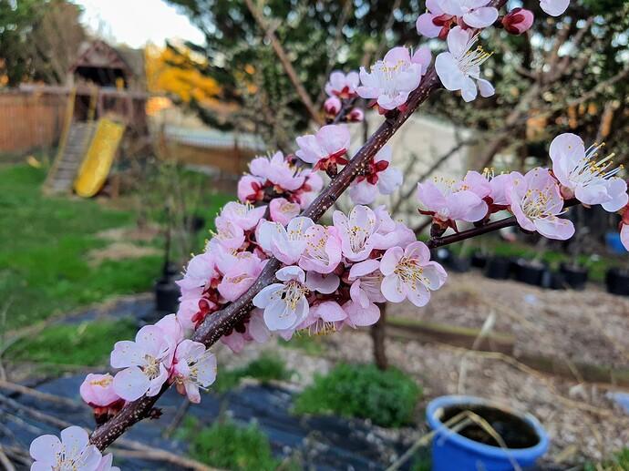 Apricot 03-28-21  1