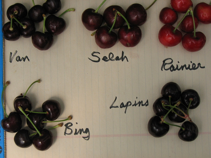 cherry, potting mix, fruit trees 004
