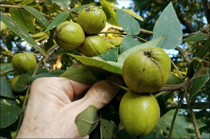 Nuts leaves