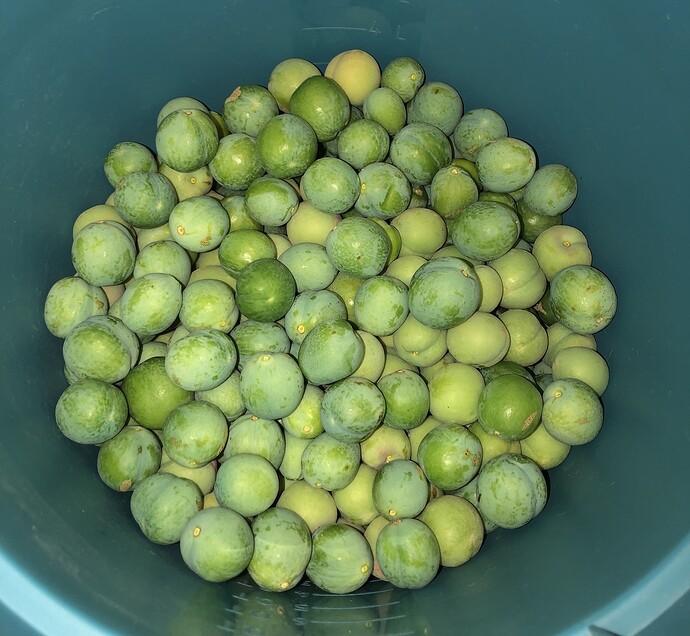 2021-05-06_Green_Plums_IMG_0822