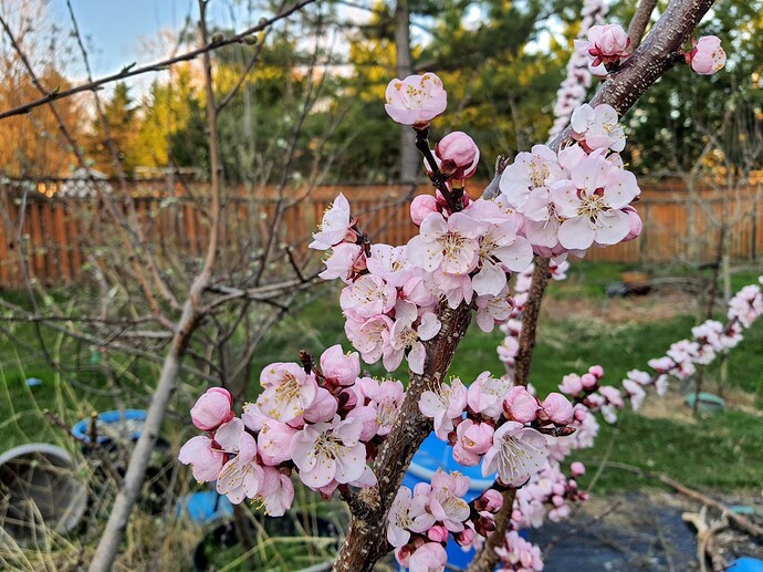 Apricot 03-28-21  2
