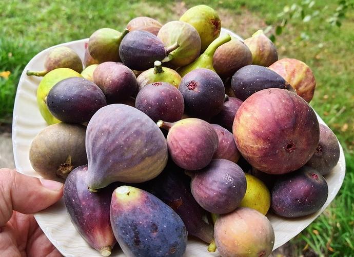 Figs%20Harvest%2009-15-2020
