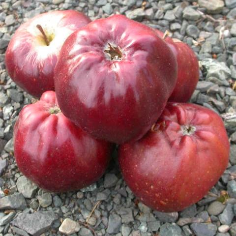 Apple-Bloody-Ploughman-S