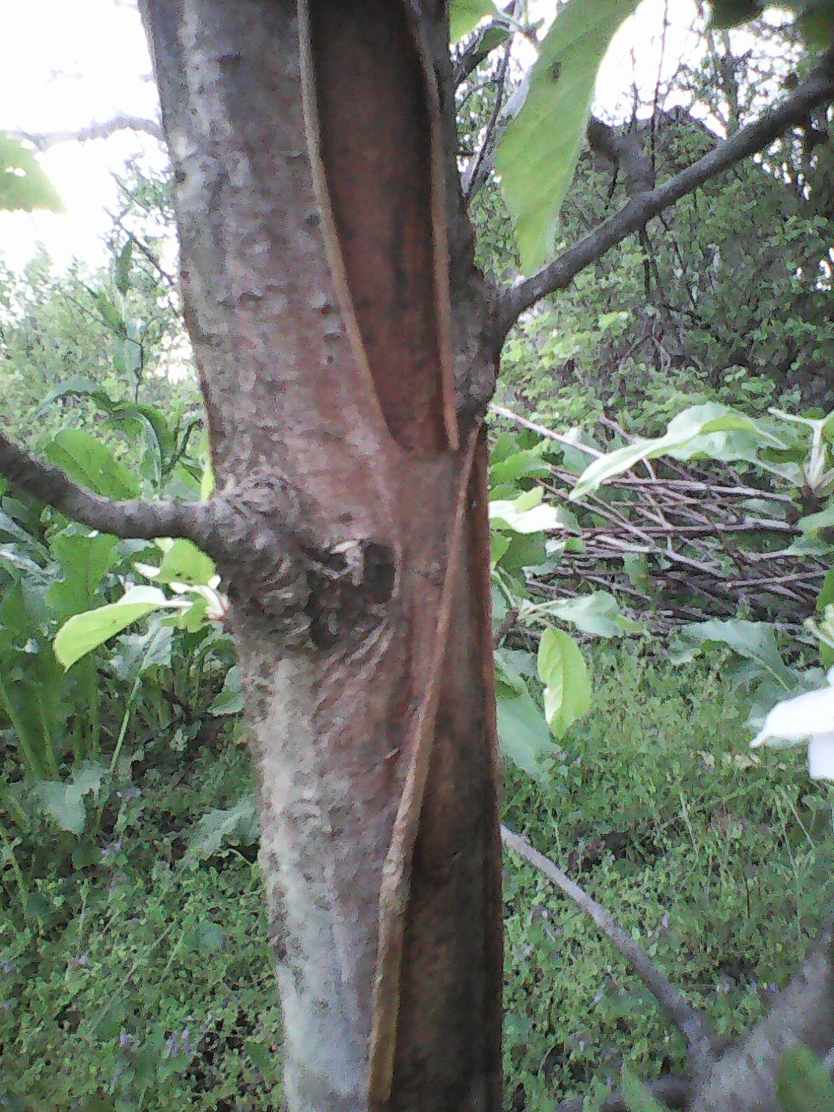 Apple Tree Bark Peeling Badly General Fruit Growing Growing Fruit