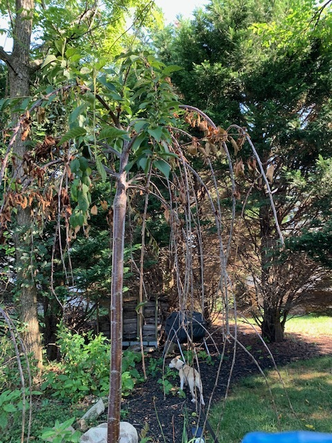 Weeping Cherry Of A Friend S Is Dying Thoughts General Fruit Growing Growing Fruit