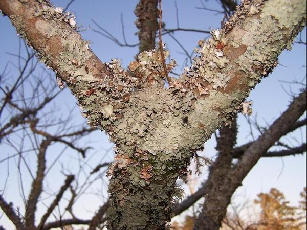 Scale Fungus Or Lichen On Montmorency Cherry Tree Bark General Fruit Growing Growing Fruit