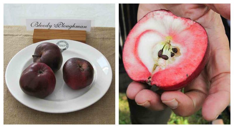 bloody-ploughman-apple