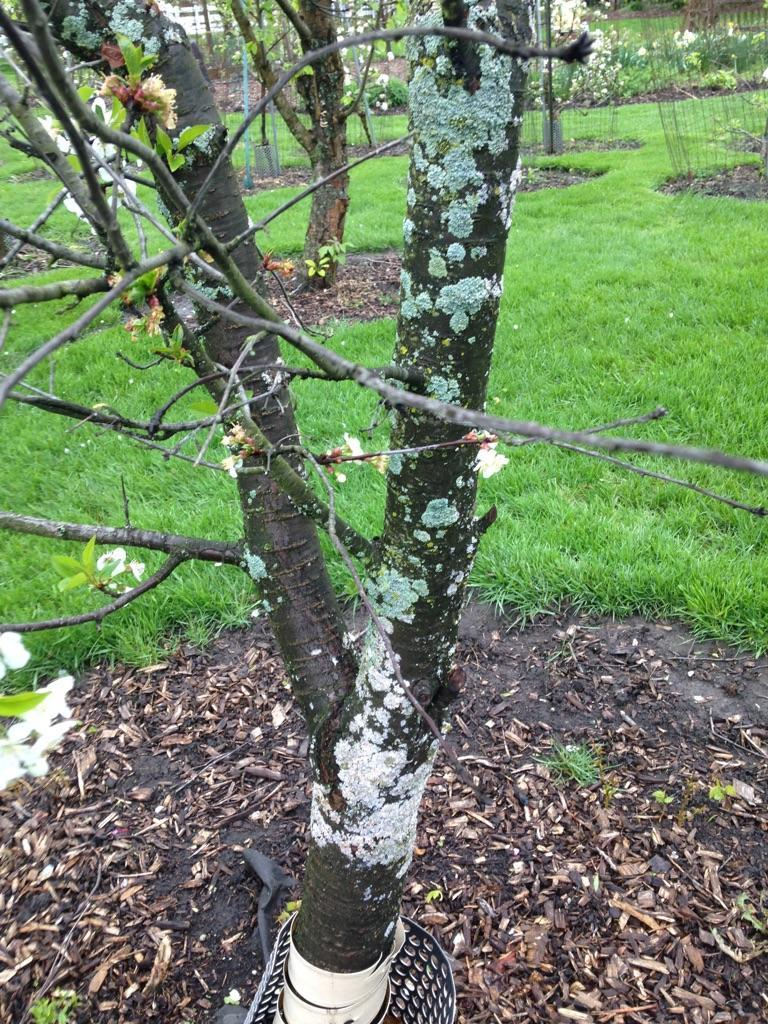 Cherry Leaf Spot Treatment What Causes Spots On Cherry Leaves